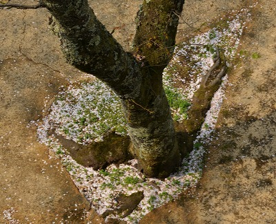 三次・桜5