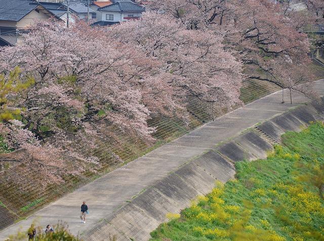 三次・桜 11