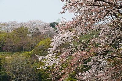 三次・桜12