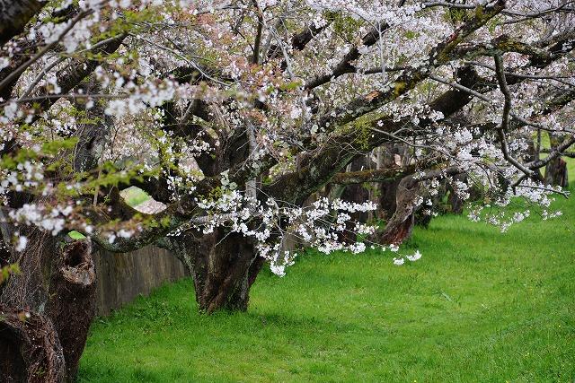 三次・桜16