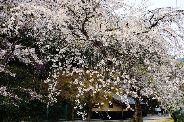 三次・桜 10