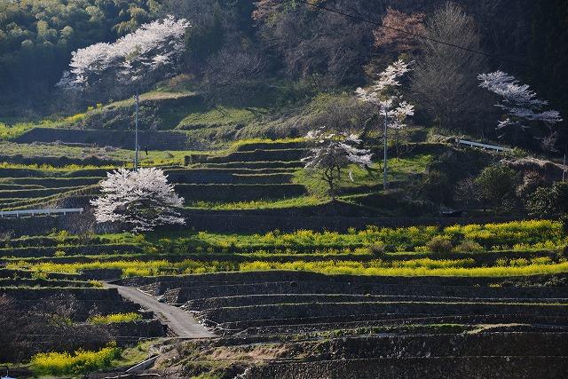棚田の春8