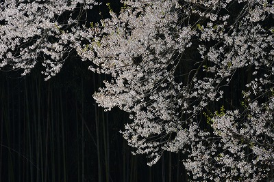 要害桜10