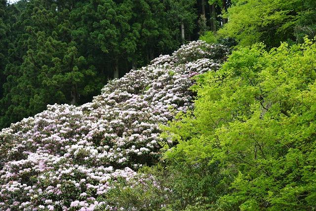 石楠花11