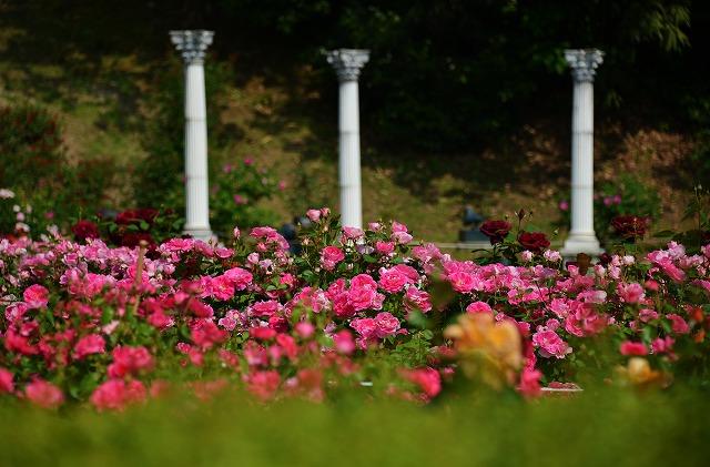 バラ公園 11