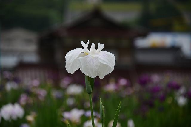 向原の花 4