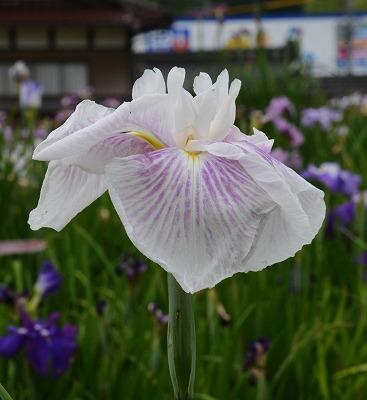 向原の花 5