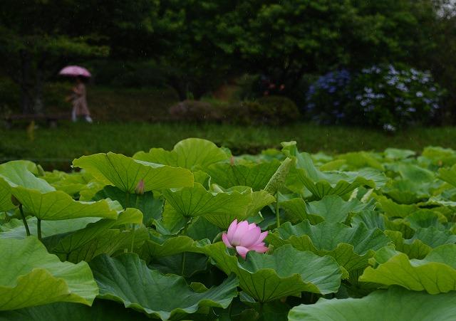 ハスの花3