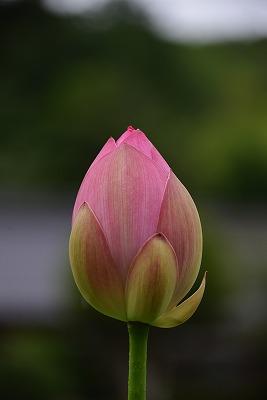 ハスの花7