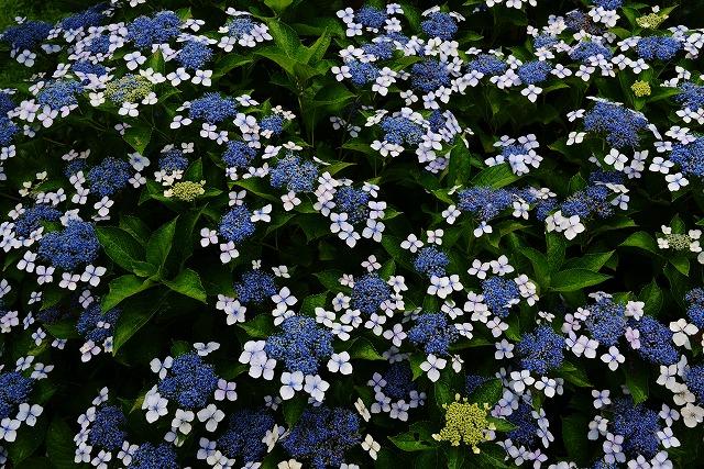 ハスの花 16