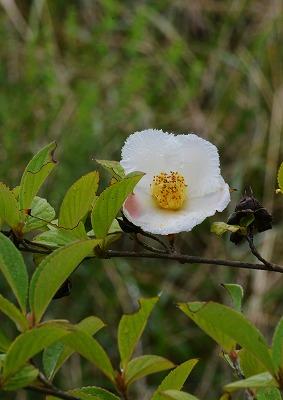 ハスの花 17