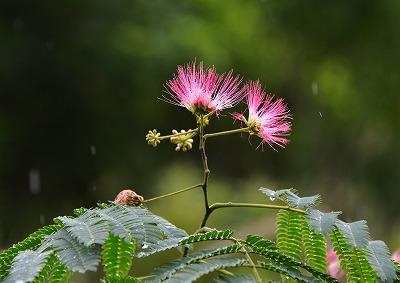 ハスの花20