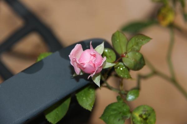 IMG_7532小さなバラ