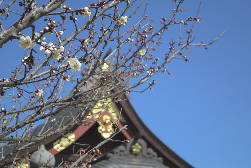 岩津天神の梅:2_16