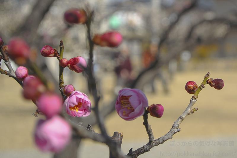 南公園の梅