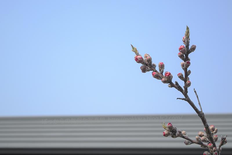 316花桃の蕾