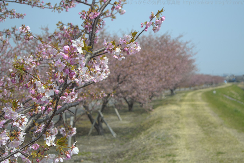 316河津桜の並木