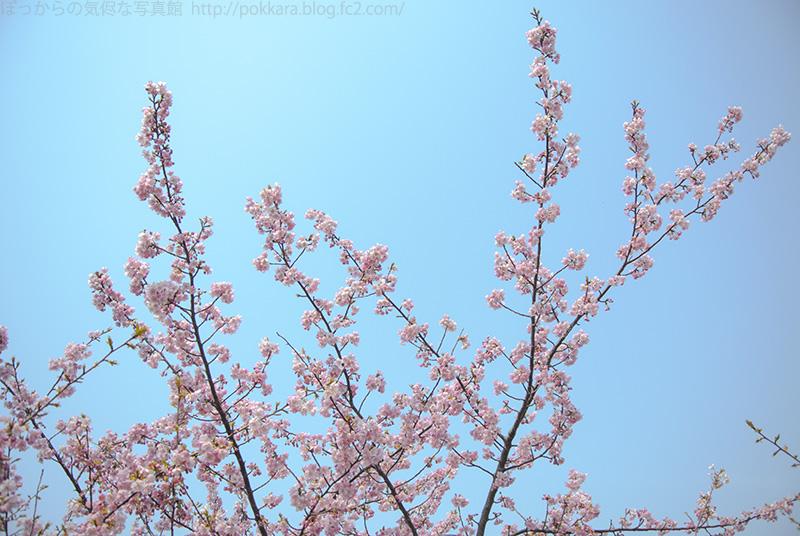 316河津桜①
