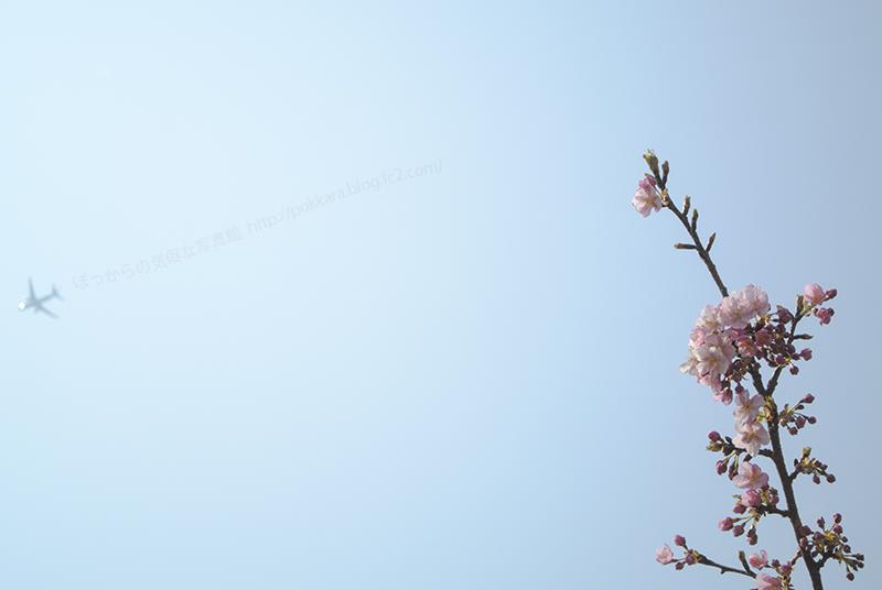 316河津桜②