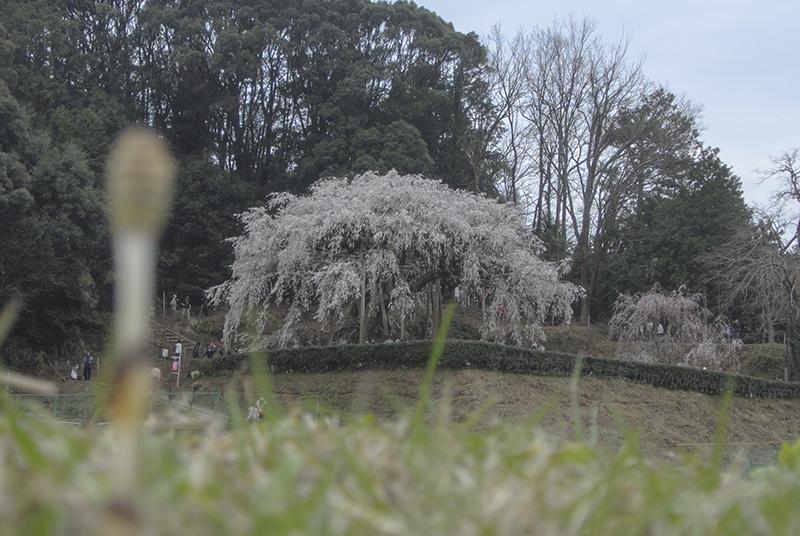 奥山田の枝垂れ桜2014