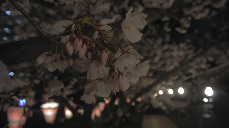 夜桜2014330②