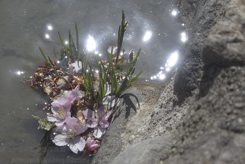水に浮く河津桜
