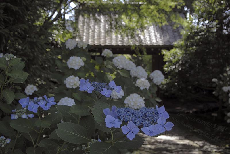 2014_0608本光寺①