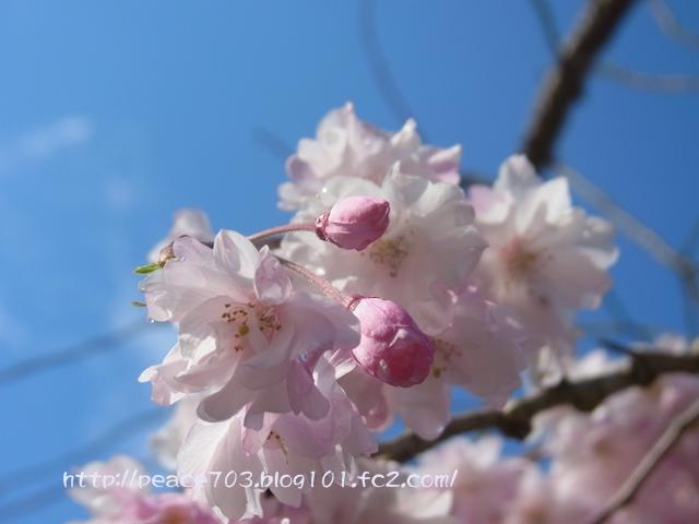 宮島の花002