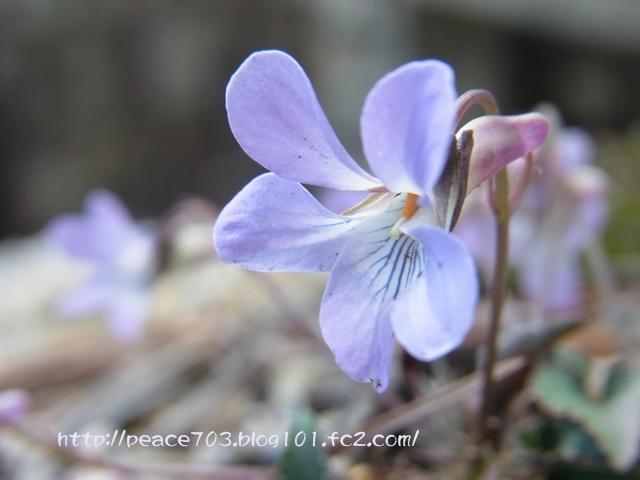 宮島の花008