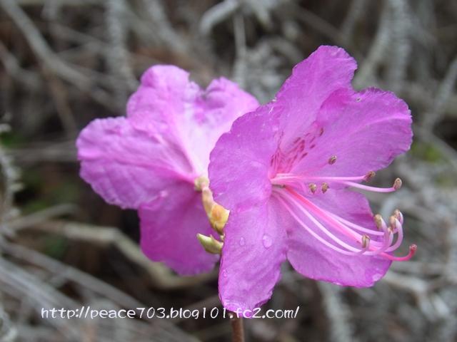 宮島の花007
