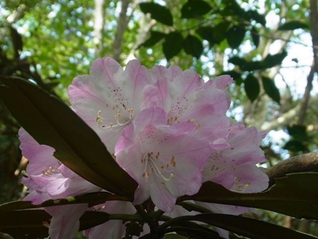 鹿嵐山の花003