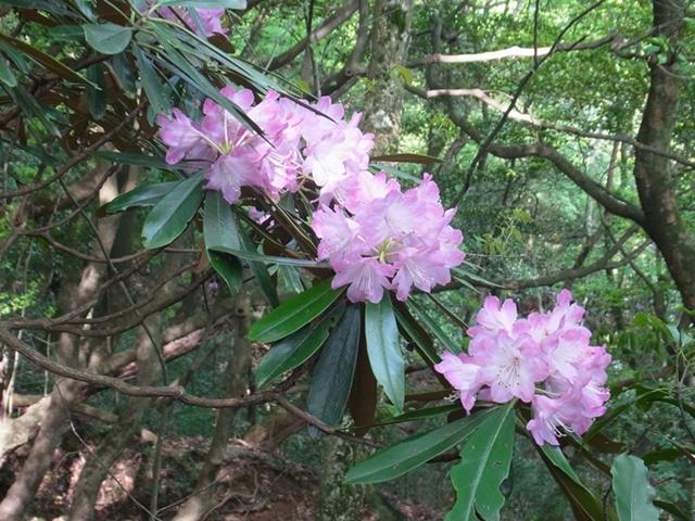 鹿嵐山の花004