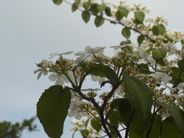 夏木山の花015