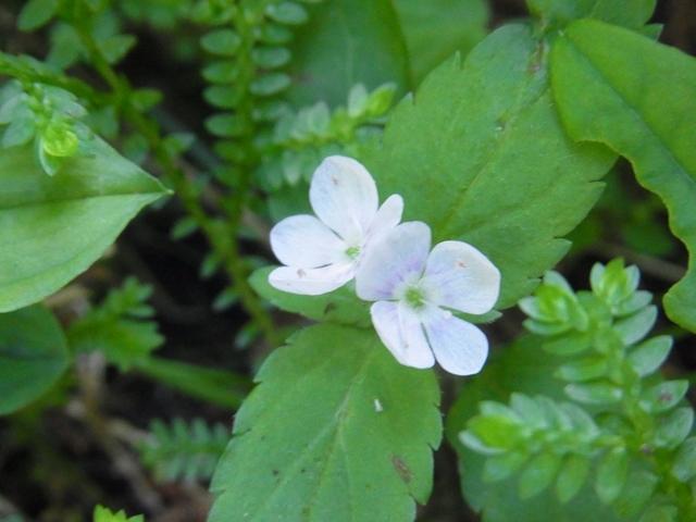 皿ヶ嶺の花001