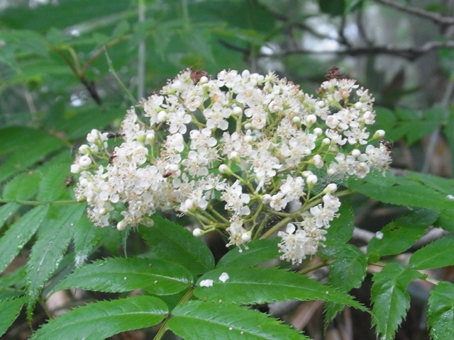 恐羅漢山の花005