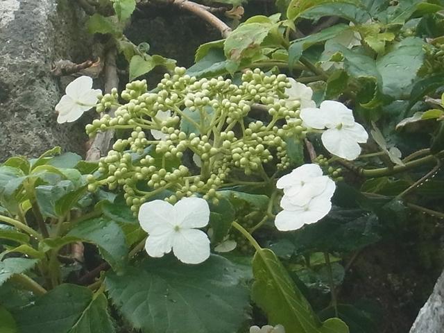 恐羅漢山の花007