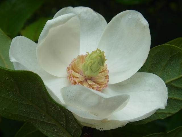 恐羅漢山の花009