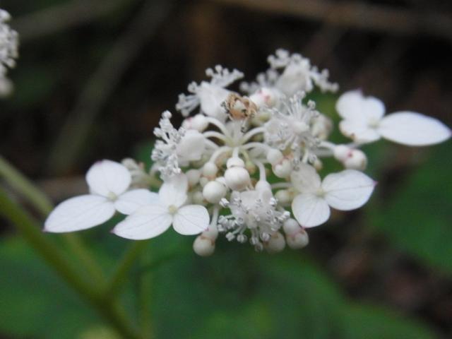 三鈷峰の花002