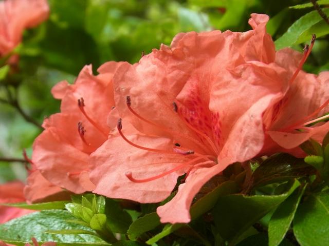 三鈷峰の花007