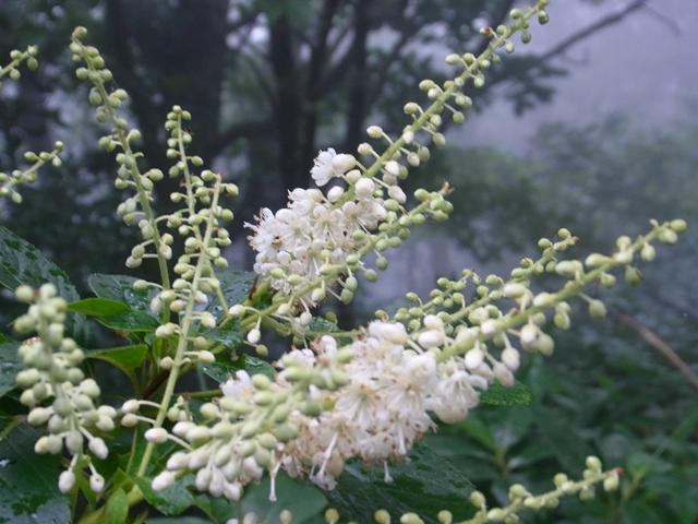 安蔵寺山の花003