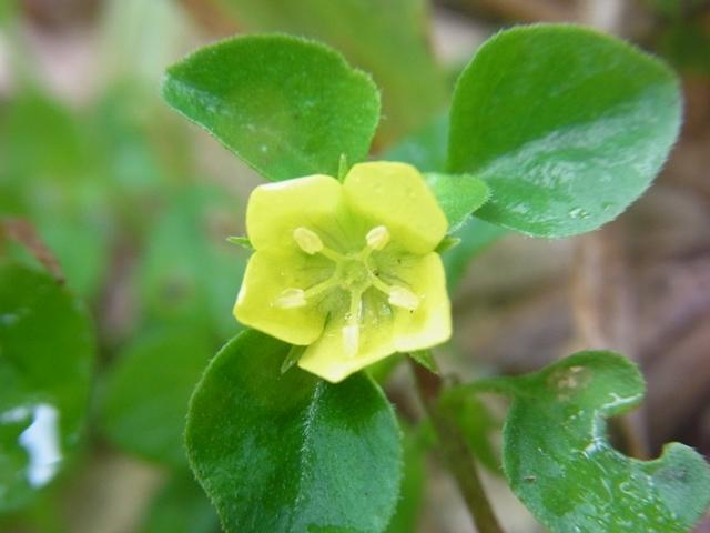 安蔵寺山の花007