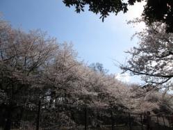 座って右手の桜