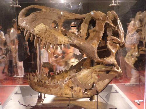 ヨコハマ恐竜展・ティラノ頭骨