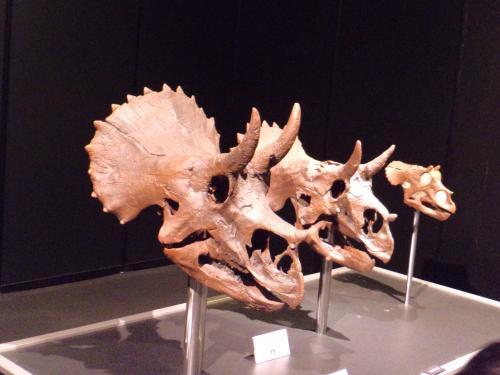 ヨコハマ恐竜展・トリケラ