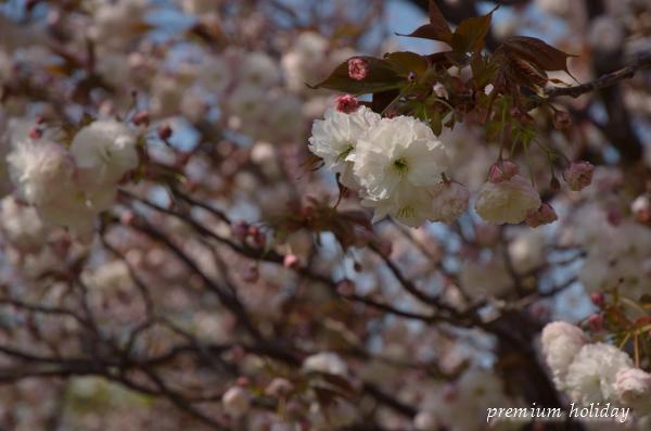 plum_7796_.jpg