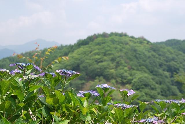 山と紫陽花1