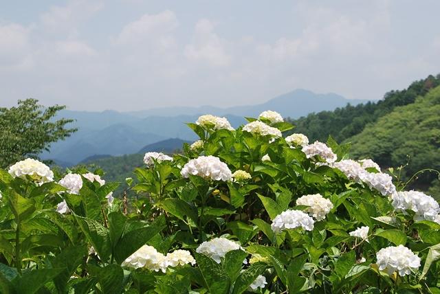 山と紫陽花2