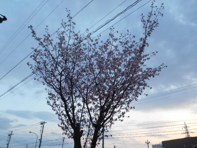 5月1日の桜