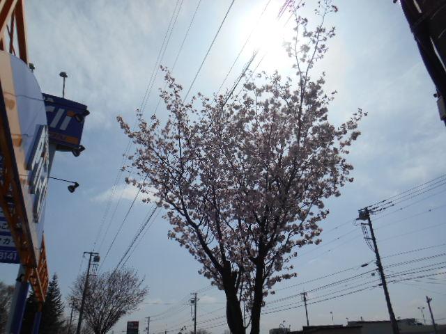 5月2日の桜