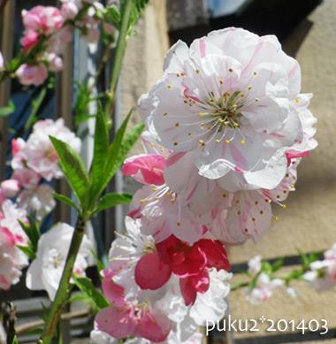 sakura2014-3.jpg